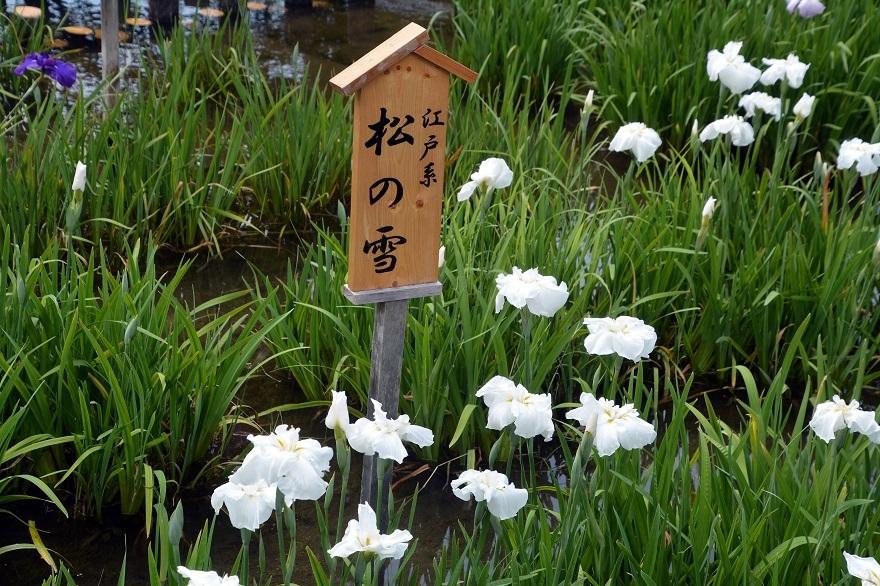山田ハナショウブ19 (8)