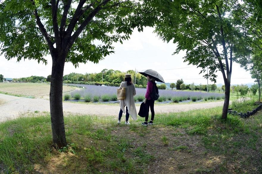 和泉ラベンダー畑2019 (15)