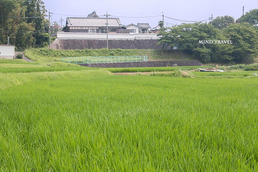 天田神社付近の田圃
