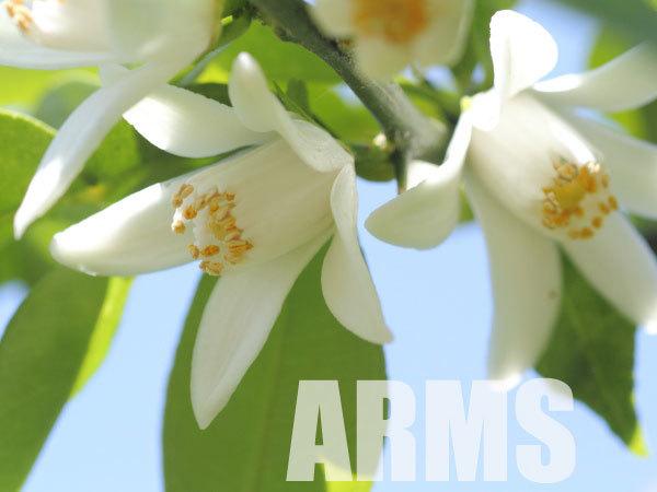 柚子の白い花