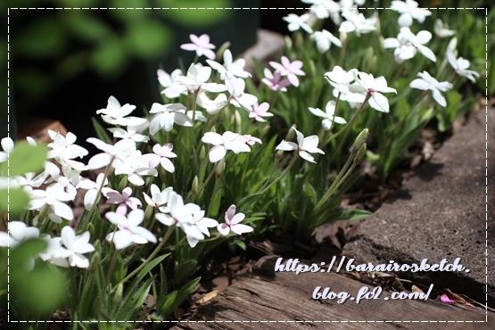 アッツ桜201905-13