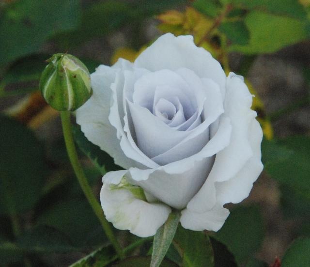 バラ写真2 (640x551)