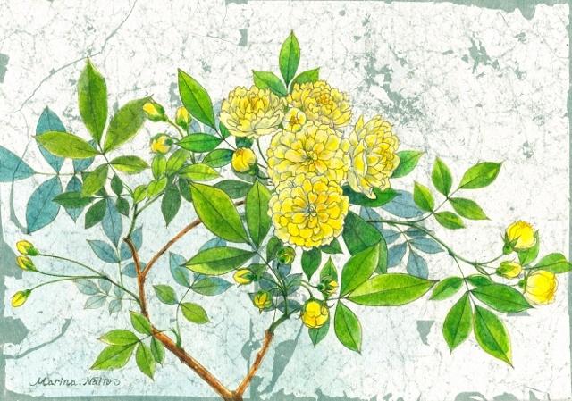 黄木香薔薇 (640x449)