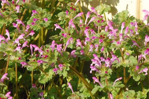 ホトケノザの花をアップ