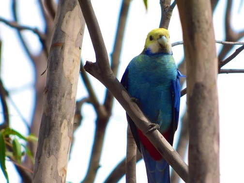 yaseino-Pale-headed rosella