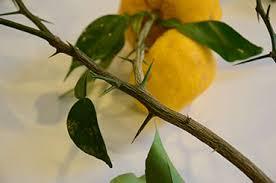 柚子の木のとげ