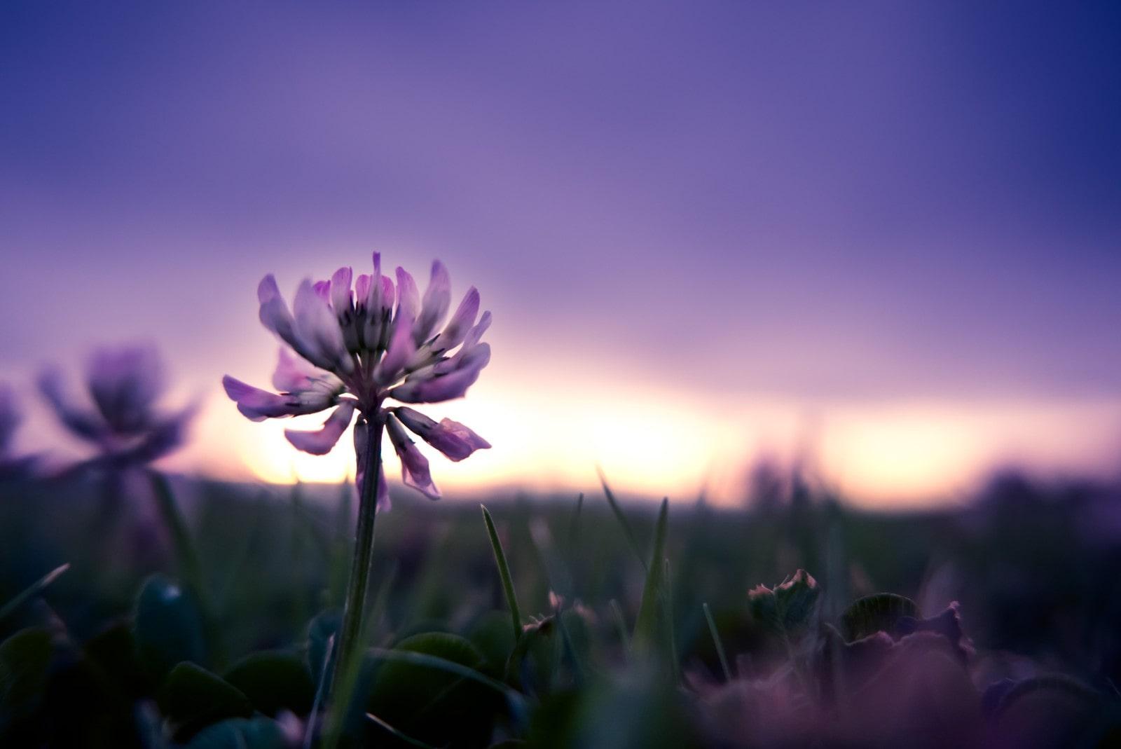 夕暮れに紫色の花アップ