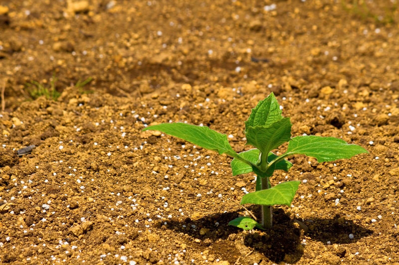 畑ですくすくと育つ苗