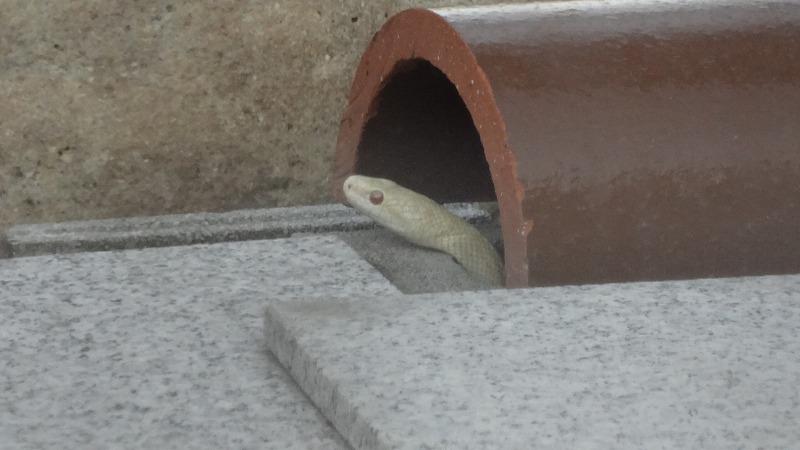 白蛇神社の白蛇