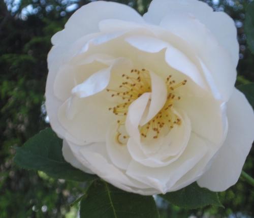 白 薔薇 ザ・ナン