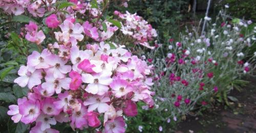 6月庭 薔薇 バレリーナ