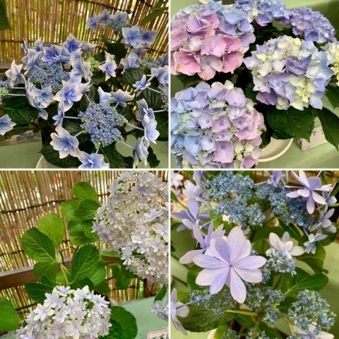 展示紫陽花