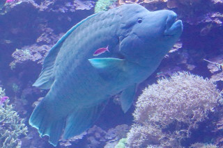 メガネモチノウオ(海卵)