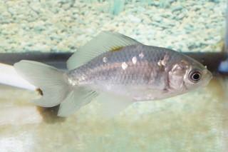 ヒスイニシキ短尾(長洲)