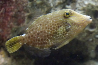 アミメウマヅラハギ(海響)
