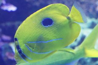 ウミヅキチョウチョウウオ(海卵)