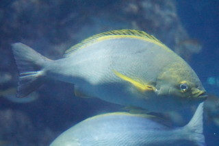イサキ(海卵)