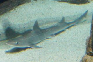 ホシザメ(海響)