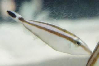 ハナツノハギ(海響)