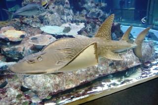 シノノメサカタザメ(足摺)