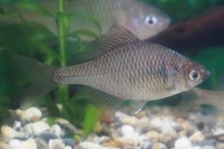 タイリクバラタナゴ雌(川博)