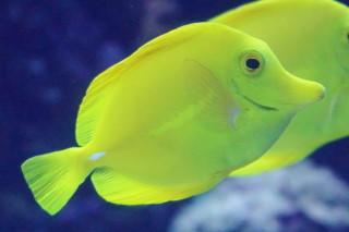 キイロハギ(海卵)