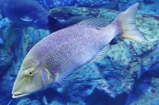 ハマフエフキ(海卵)