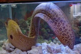 ドクウツボ(蝦蟹)