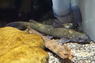 ギギ(蝦蟹)