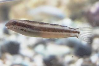 ニジギンポ(蝦蟹)