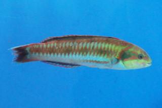 ニシキベラ(鯨博)