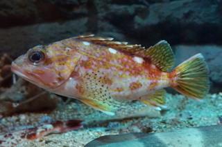 アヤメカサゴ(蝦蟹)