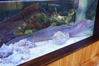 ニセゴイシウツボ(蝦蟹)