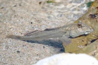 ミナミトビハゼ(池袋)