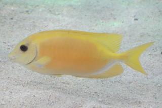 サンゴアイゴ(鴨川)