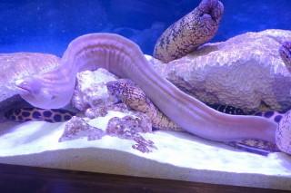 サビウツボ(蝦蟹)