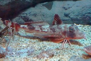 ホウボウ(蝦蟹)