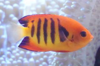フレームエンゼルフィッシュ(海卵)