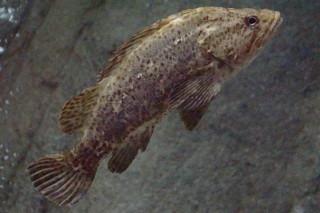 タケノコメバル(ゴビ)