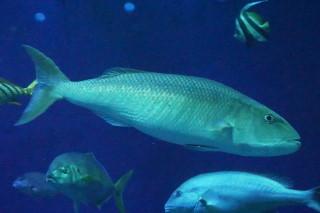 アオチビキ(海卵)