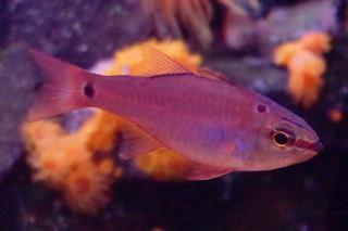 クロホシイシモチ(海卵)
