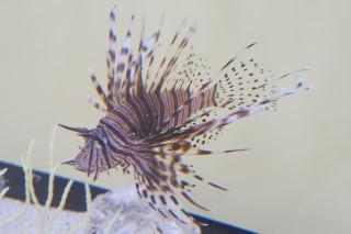 ハナミノカサゴ(池袋)