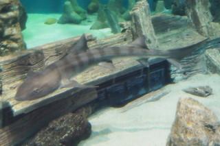 ドチザメ(海響)
