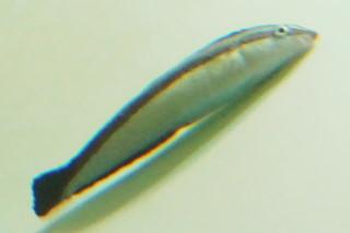 ニセクロスジギンポ(葛西)