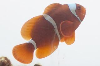スパインチークアネモネフィッシュ(海陽)