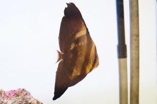ナンヨウツバメウオ幼(海陽)