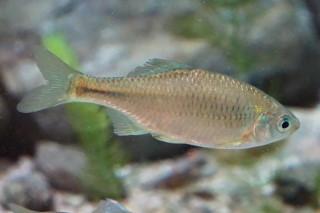 ミナミアカヒレタビラ雌(ゴビ)