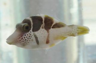 ノコギリハギ(ソニ)