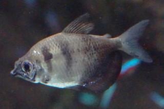 ブラックテトラ(海卵)