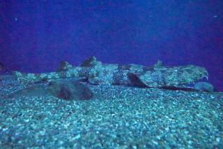 オオセ(海卵)